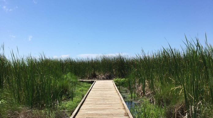 Alligator Marsh Walk